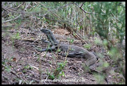 Water Monitor at Nkuhlu